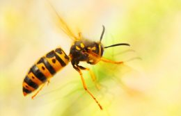 Are Yellow Jackets More Aggressive During Fall?